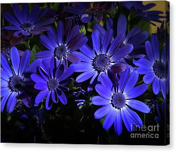 True Blue Pericallis Senetti Flowers Canvas Print by Dorothy Lee