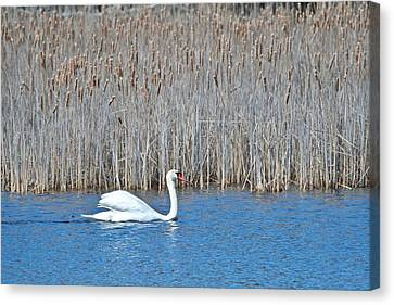 Canvas Print featuring the photograph Trumpeter Swan 0967 by Michael Peychich