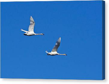 Canvas Print featuring the photograph Trumpeter Swan 1727 by Michael Peychich