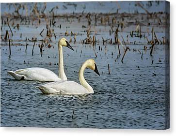 Trumpeter Swan - Pair Canvas Print by Nikolyn McDonald