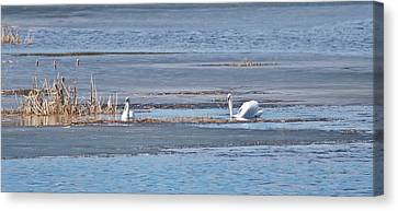 Canvas Print featuring the photograph Trumpeter Swans 0933 by Michael Peychich