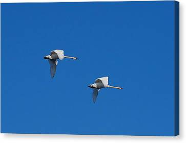 Canvas Print featuring the photograph Trumpeter Swans 1725 by Michael Peychich