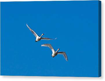 Canvas Print featuring the photograph Trumpeter Swans 1735 by Michael Peychich