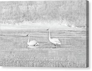 Canvas Print featuring the photograph Trumpeter Swan's Winter Rest Gray by Jennie Marie Schell