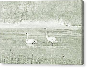 Canvas Print featuring the photograph Trumpeter Swan's Winter Rest Green by Jennie Marie Schell