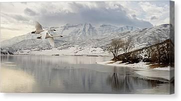 Trumpeter Swans Wintering At Deer Creek Canvas Print by TL Mair