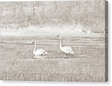 Canvas Print featuring the photograph Trumpeter Swan's Winter Rest Beige by Jennie Marie Schell