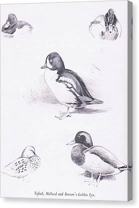 Tufted Ducks, Mallards, Barrows Goldeneye Canvas Print by Archibald Thorburn
