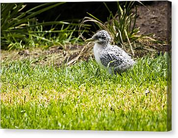Crested Tern Chick - Montague Island - Nsw - Australia Canvas Print by Steven Ralser