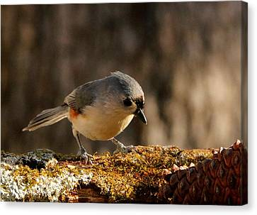 Tufted Titmouse In Fall Canvas Print