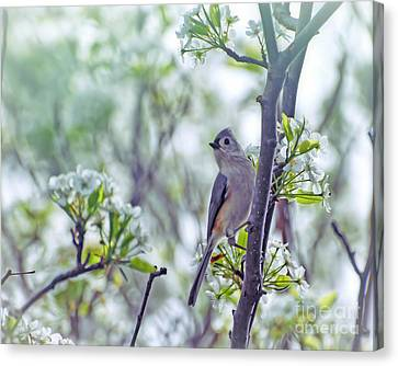 Tufted Titmouse In Spring Blossoms Canvas Print by Kerri Farley