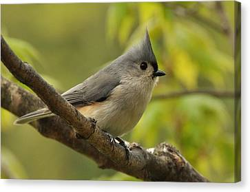 Tufted Titmouse In Sugar Maple Canvas Print