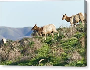 Canvas Print featuring the photograph Tules Elks At Tomales Bay Point Reyes National Seashore California 5dimg9315 by Wingsdomain Art and Photography