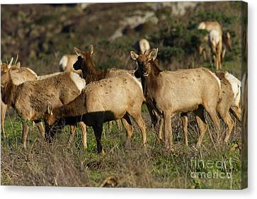 Canvas Print featuring the photograph Tules Elks At Tomales Bay Point Reyes National Seashore California 5dimg9338 by Wingsdomain Art and Photography