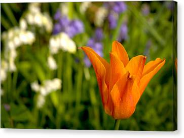 Tulip And Friends L Canvas Print by Andy Smy