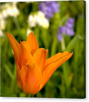 Tulip And Friends Sq Canvas Print by Andy Smy