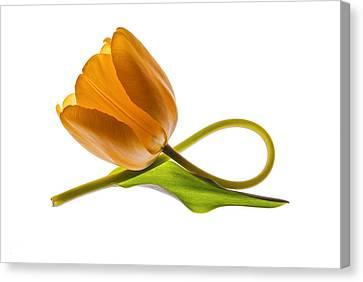 Tulip Art On White Background Canvas Print by Vishwanath Bhat