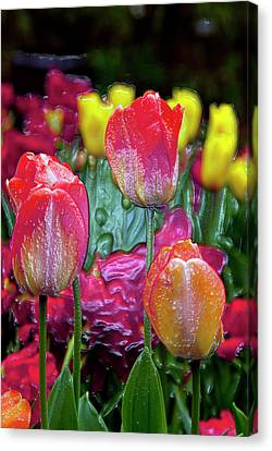 South Of France Canvas Print - Tulip Candy by Don  Wright