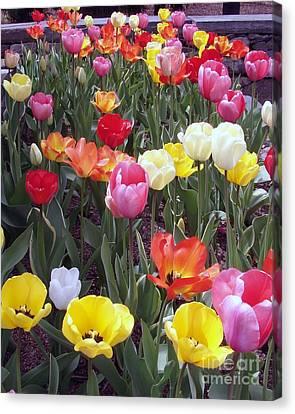Tulip Color Burst Canvas Print by Donna Cavanaugh