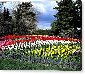 Tulip Country Canvas Print by Will Borden