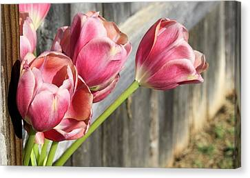 Tulip Fence Canvas Print by Lynnette Johns