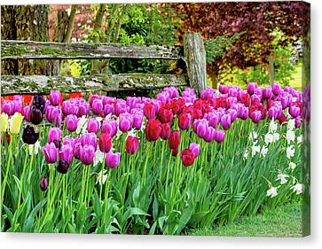 Tulip Fence Canvas Print by Mary Jo Allen