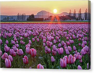 Tulip Field At Sunset Canvas Print by Davidnguyenphotos
