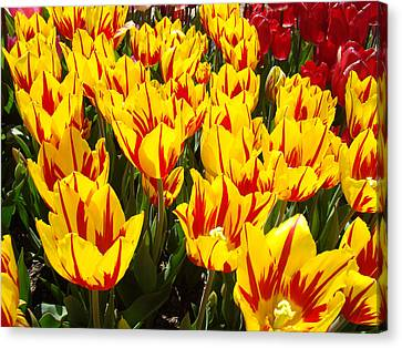 Tulip Flowers Festival Yellow Red Art Prints Tulips Canvas Print by Baslee Troutman