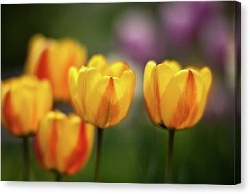 Tulip Glow Canvas Print by Mike Reid