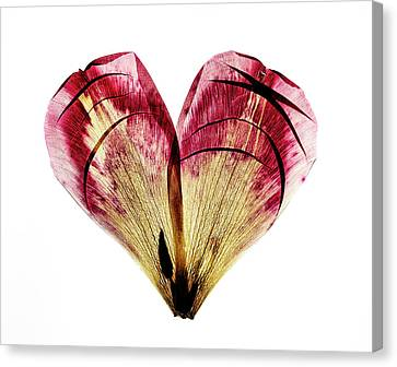 Tulip Heart Canvas Print by Nailia Schwarz
