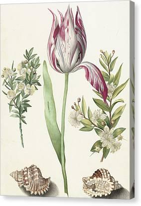 Tulip Canvas Print by Maria Sibylla Graff Merian