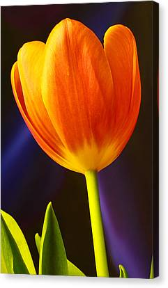 Tulip Canvas Print by Marlo Horne