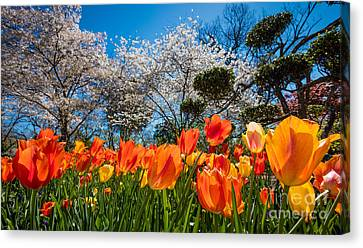 Tulip Panorama Canvas Print by Inge Johnsson