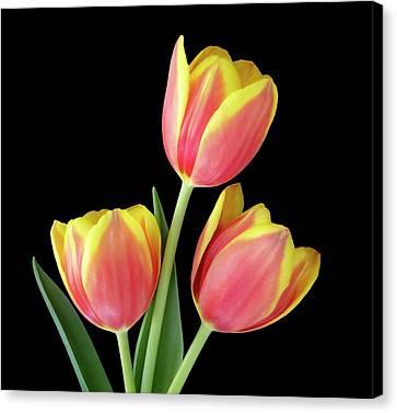 Tulip Passion Canvas Print