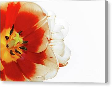 Tulip Statement Canvas Print