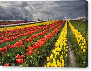 Tulip Storm Canvas Print by Mike  Dawson