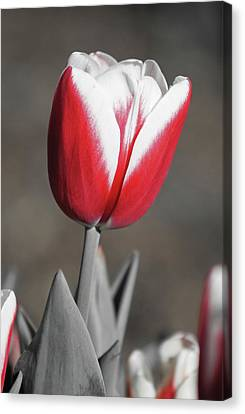 Tulip - Timeless Canvas Print by Pamela Critchlow