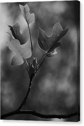 Tulip Tree Leaves In Spring Canvas Print