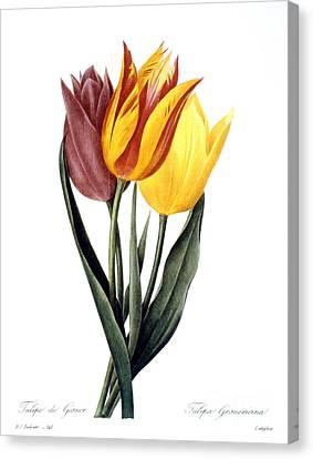 Tulip (tulipa Gesneriana) Canvas Print by Granger