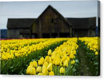 Tulips And A Barn Canvas Print by Pelo Blanco Photo