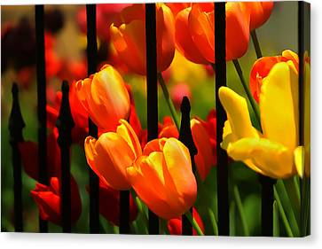 Tulips And Wrought Iron Canvas Print by Lyle  Huisken