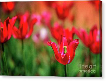 Tulips At Honor Heights Canvas Print