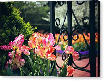 Tulips At The Garden Gate Canvas Print by Jessica Jenney