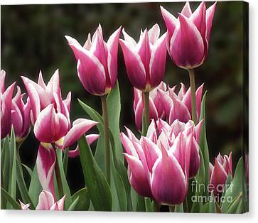 Tulips Bed  Canvas Print