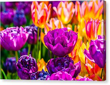 Canvas Print featuring the photograph Tulips Enchanting 42 by Alexander Senin