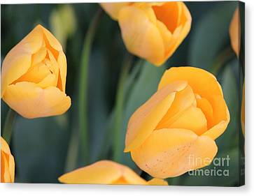 Canvas Print featuring the photograph Tulips by Erica Hanel