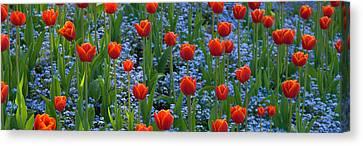 Tulips In A Garden, Butchart Gardens Canvas Print
