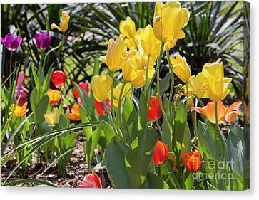 Tulips In A Garden In Spring Canvas Print by Louise Heusinkveld