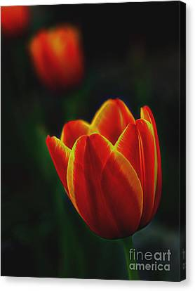 Tulips In Contrast Canvas Print by Norman Gabitzsch