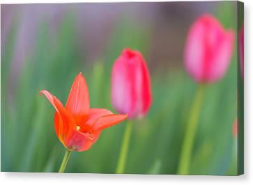 Tulips In My Garden Canvas Print